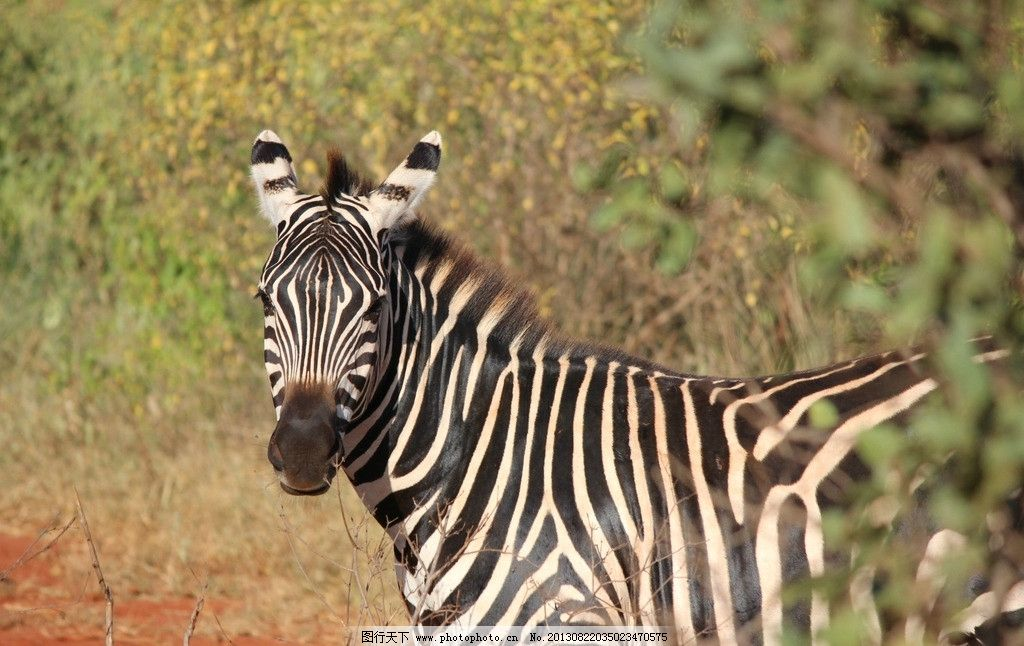 斑马 非洲 动物 野生 摄影
