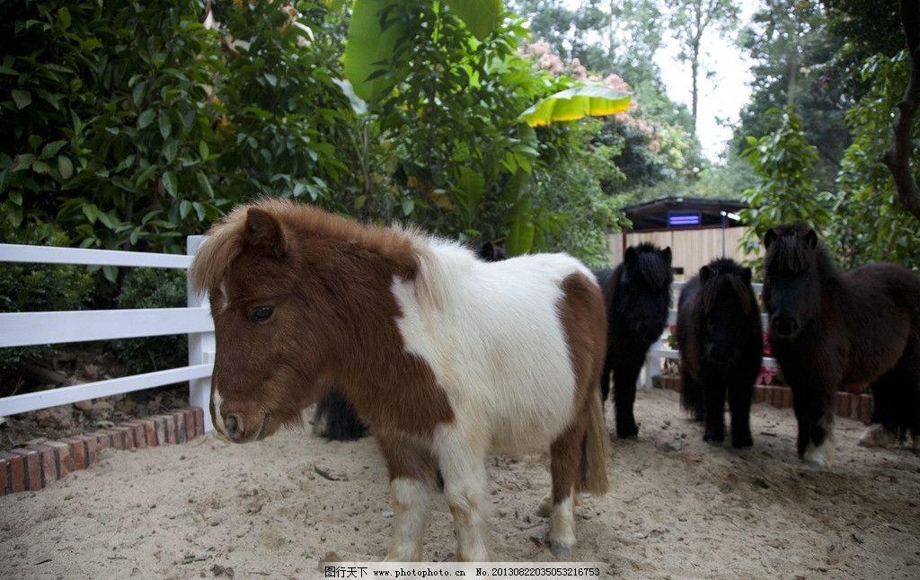 矮种马 矮马图片 矮马 小马 马 野生动物 生物世界 摄影 240dpi jpg