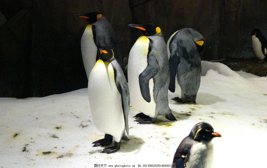 企鹅 帝企鹅 南极 动物园 可爱 萌物 海洋生物 生物世界 摄影 72dpi