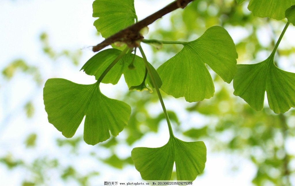 绿色银杏叶背景图图片