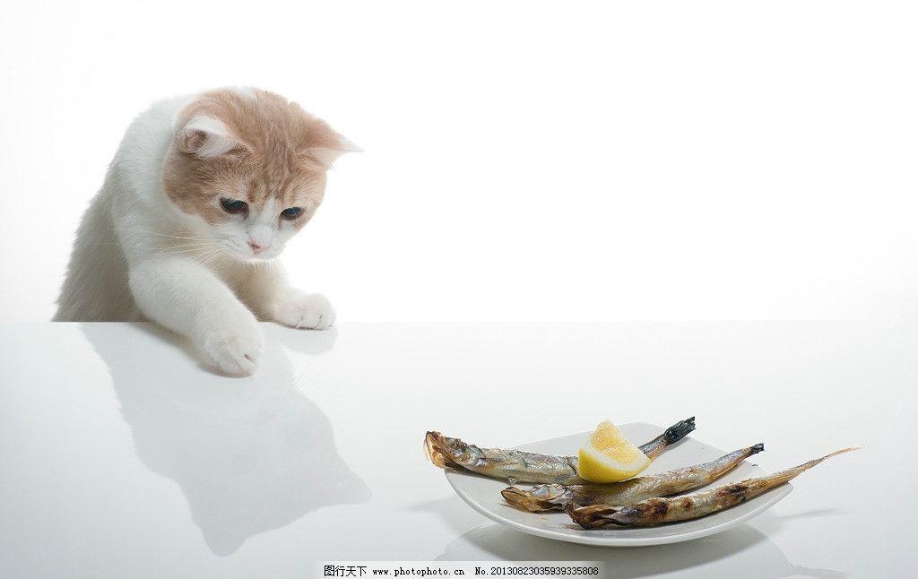 猫猫      猫咪 鱼 白色 背景 家禽家畜 生物世界 摄影 72dpi jpg