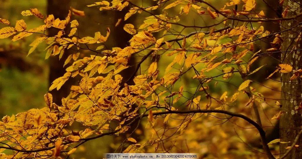 秋叶 叶子 树叶 黄叶 摆动的树叶 秋天 树 树木 大树 动物 植物 实拍