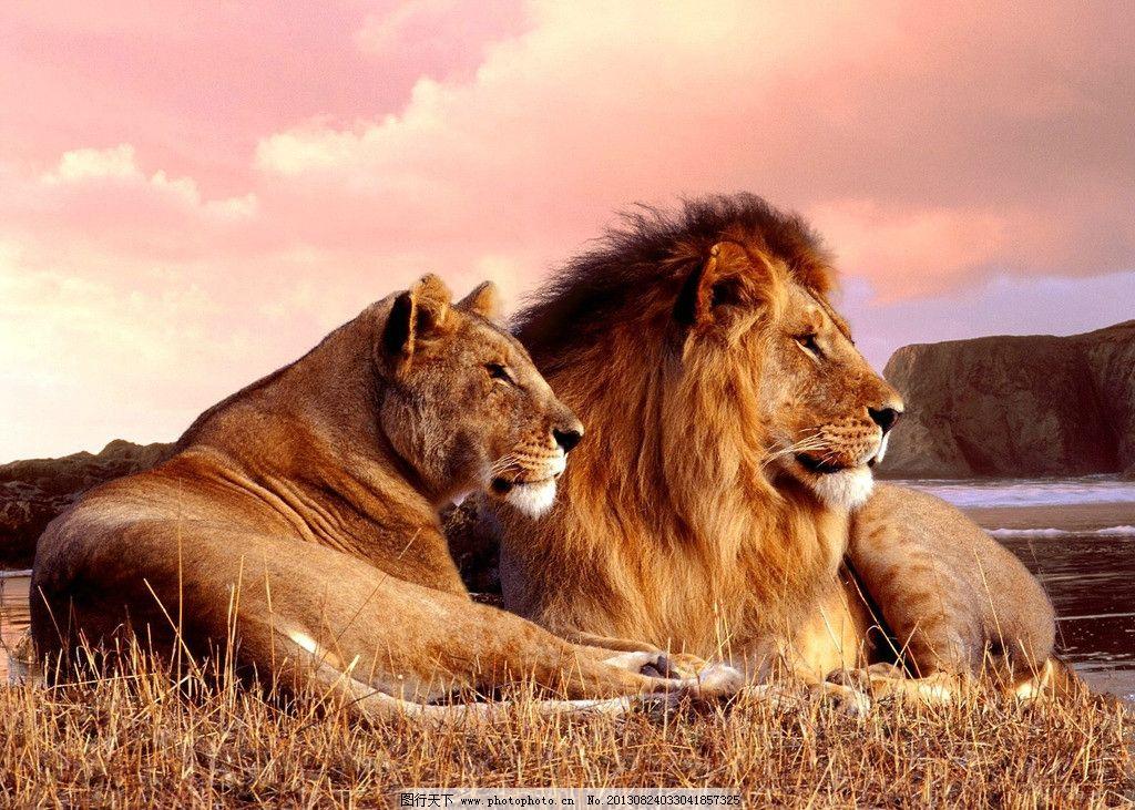 夕阳下的狮子图片