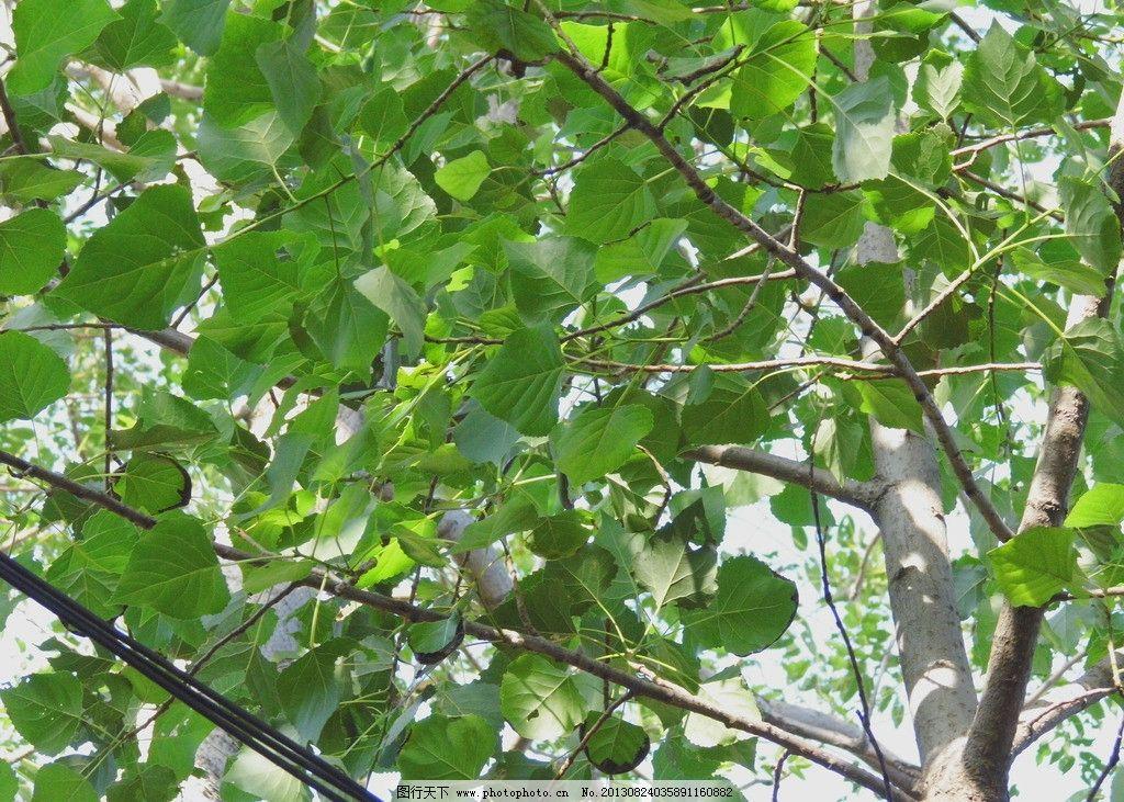 一棵树 摄影 叶子 绿色 杨树 春天 树木树叶 生物世界 96dpi jpg