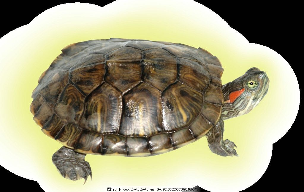 乌龟 小乌龟 金钱龟 爬行动物 源文件
