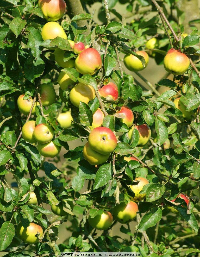 苹果树 苹果 水果 果园 绿叶 叶子 红苹果 青苹果 生物世界 摄影 300图片