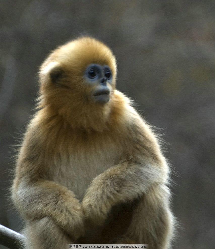 金丝猴 金丝猴图片 动物 保护动物 动物园 觅食 哺乳动物 野生动物
