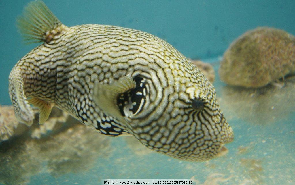 海洋鱼类 鱼 鱼类 海洋物种 物种 水生动物 箱豚 生物世界 摄影 72dpi