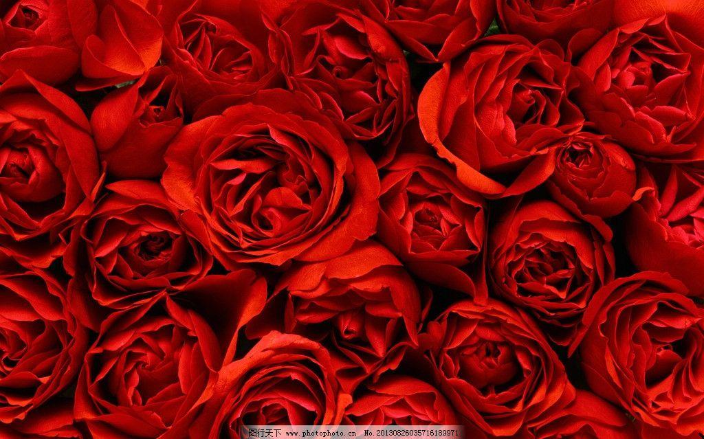 玫瑰花背景素材图片-红玫瑰图片
