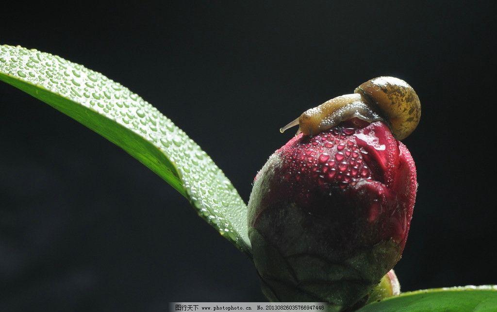 茶花 蜗牛 植物 动物 花卉 花草 生物世界 摄影 300dpi jpg