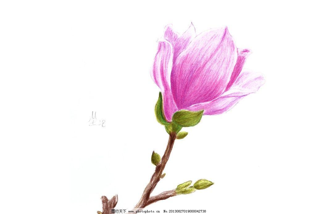 手绘玉兰花 花卉 彩色铅笔 花朵