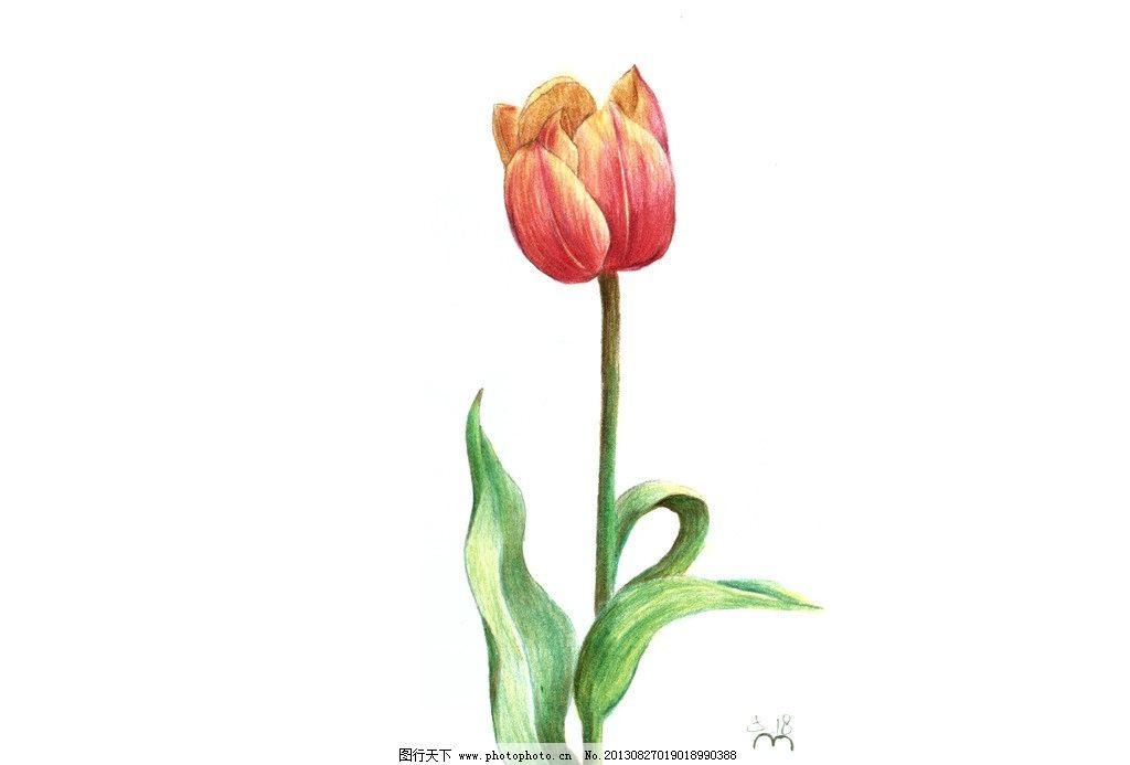 花卉 手绘 郁金香 彩色铅笔 花朵 绘画书法 文化艺术 设计 300dpi jpg