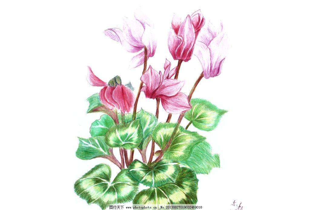 花卉 手绘 仙客来 彩色铅笔 花朵