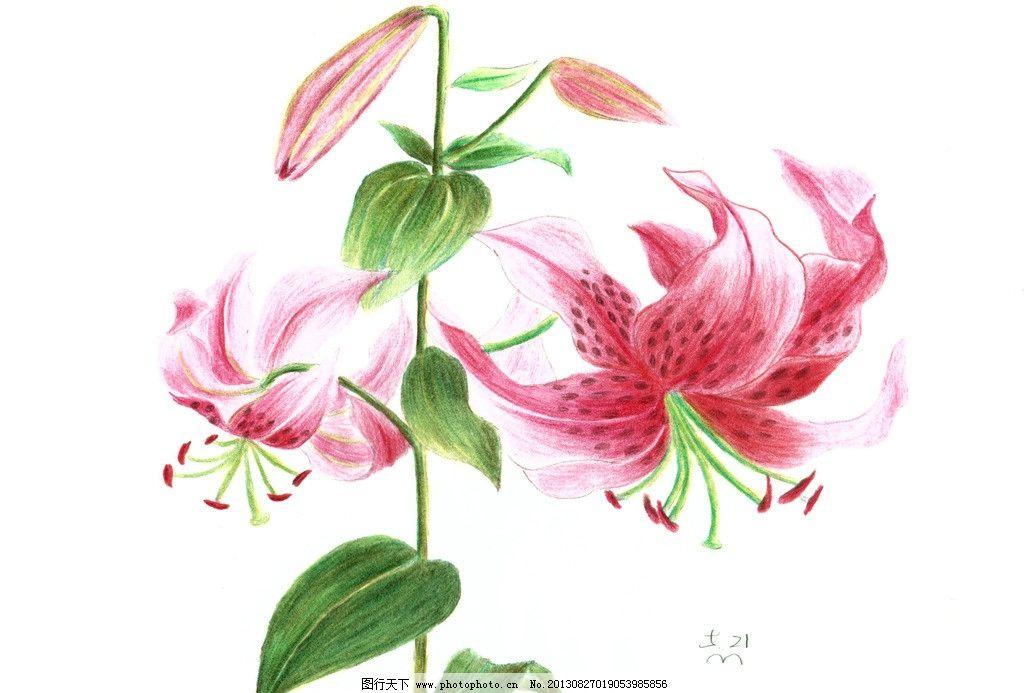 手绘花卉 手绘 花卉 卷丹百合 彩色铅笔 花朵 绘画书法 文化艺术 设计