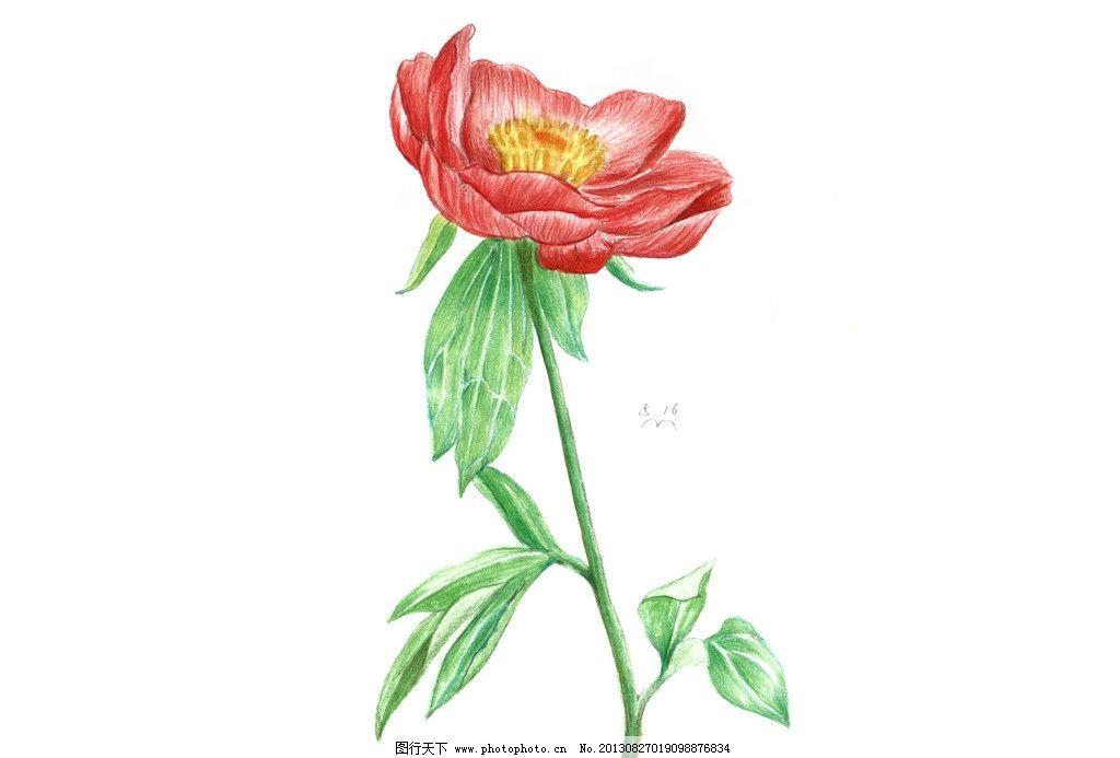 花卉 手绘 芍药 彩色铅笔 花朵 绘画书法 文化艺术 设计 300dpi jpg