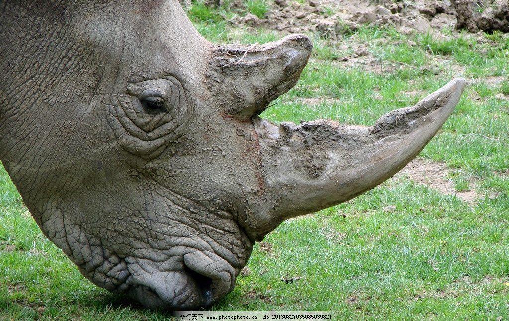 犀牛 动物 野生动物 生物