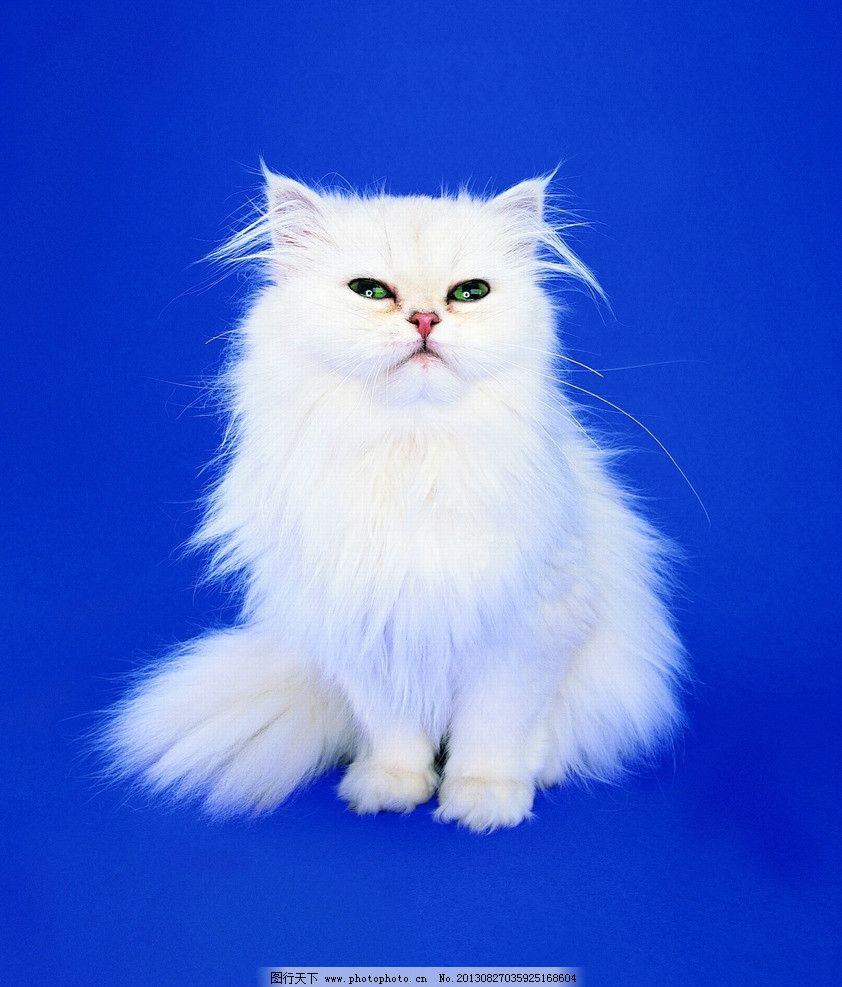 猫咪 宠物 小可爱 人类的朋友 小猫 咪咪 家禽家畜 生物世界 摄影 72