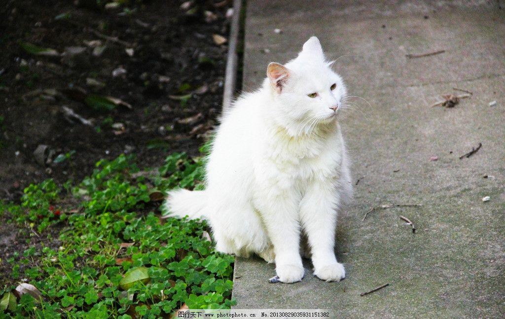 猫咪 大气的猫咪 白色 优雅 凝神 坐着 摄影