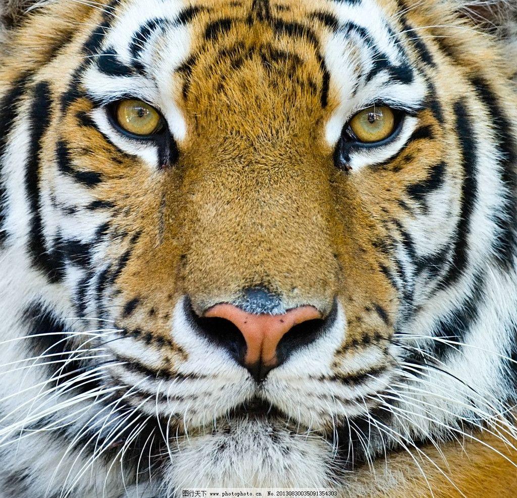 老虎 自然 动物 脸 大尺寸 摄影