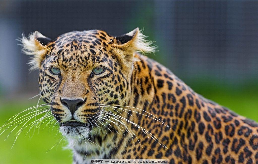 花豹 金钱豹 猎豹 野兽 花纹 豹纹 猛兽 野生动物 动物摄影 生物世界