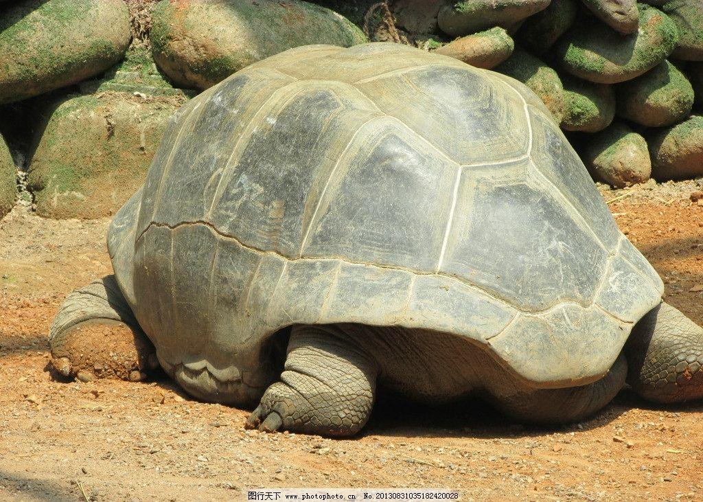 乌龟 龟壳 乌龟背影 旱地乌龟 大体型 海洋生物 生物世界 摄影 180dpi