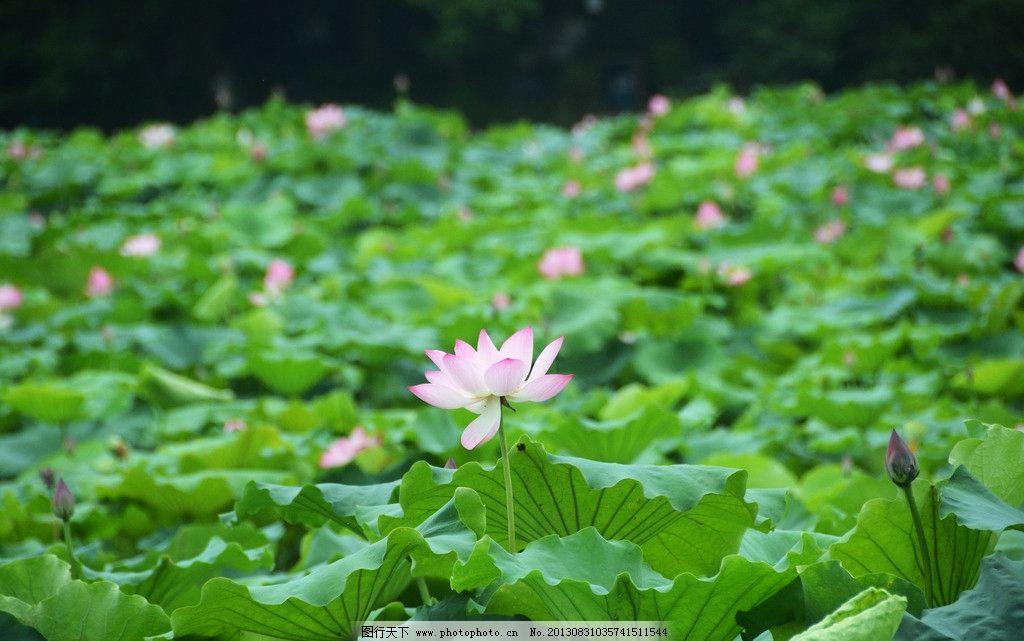荷塘 荷花 荷叶 莲花 莲藕 盛开 花朵 莲蓬 花蕾 花骨朵 西湖 西湖观