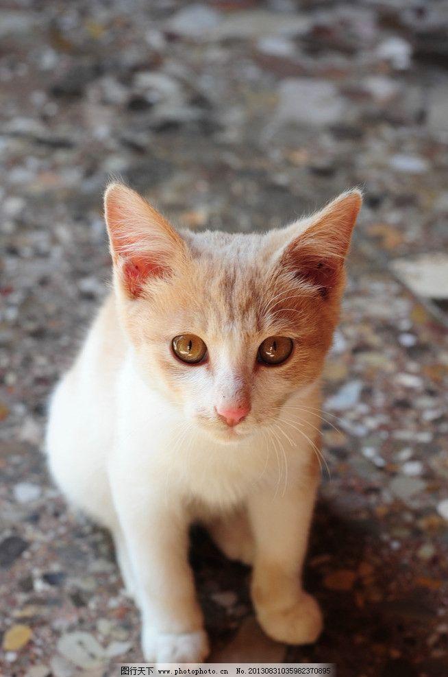 猫咪 小猫 可爱 白猫 宠物 动物 摄影