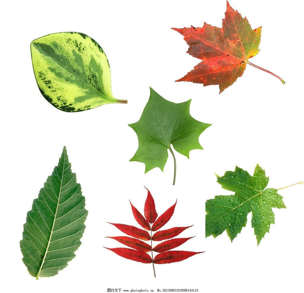 各种树叶 叶子 叶 绿色树叶 绿色叶子 树叶背景 一片树叶 圣诞树叶