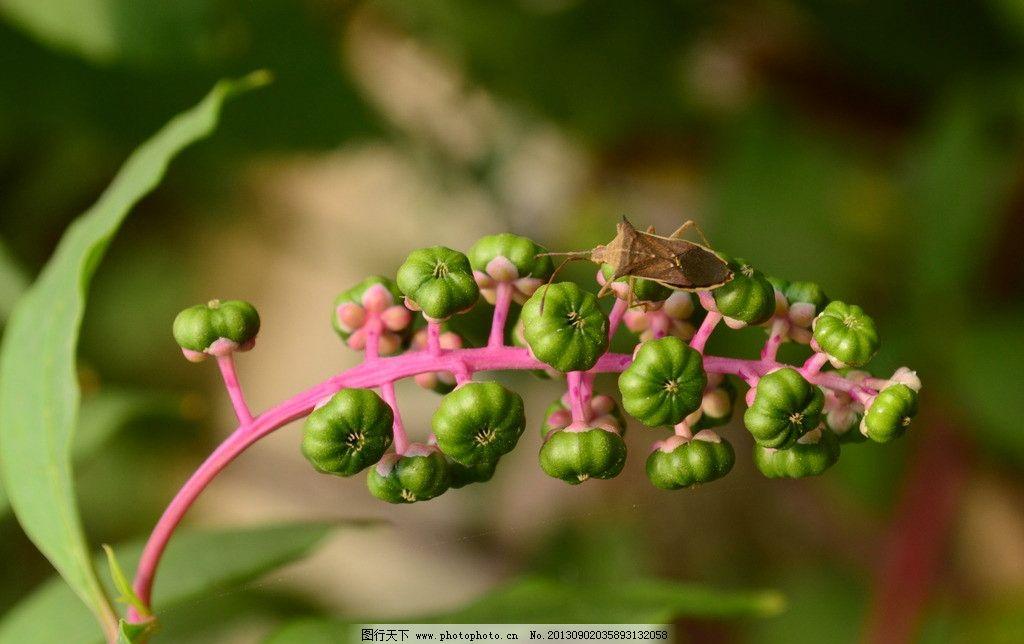 绿色果子 绿色 红茎 绿叶 果实 果子 绿果子 小虫子 树木树叶 生物