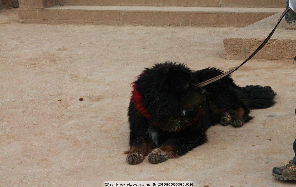 香格里拉的藏獒 香格里拉 藏獒 动物 狗 凶猛 野生动物 生物世界 摄影