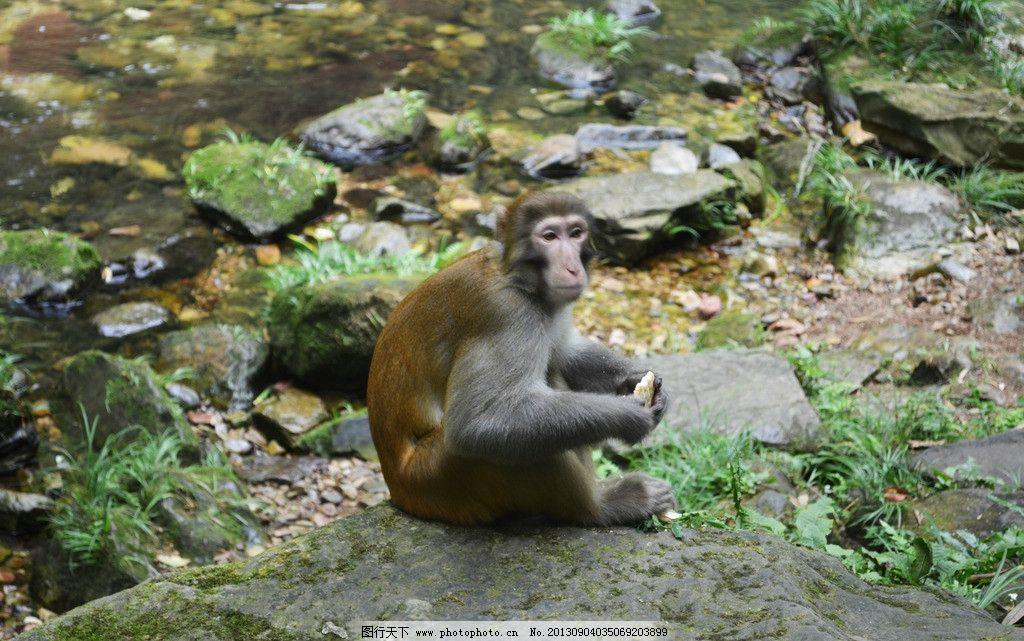 猴子 动物 动物世界 张家界猴子 可爱动物 野生动物 生物世界 摄影