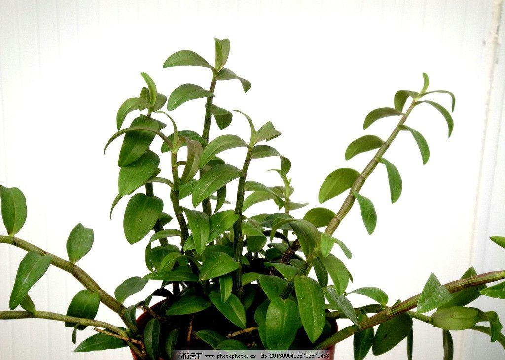 盆栽石斛 药用植物 盆栽 观赏 生态 药用植物i 花草 生物世界 摄影 72