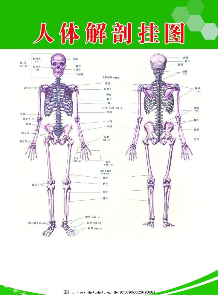 人体骨骼 人体结构图片