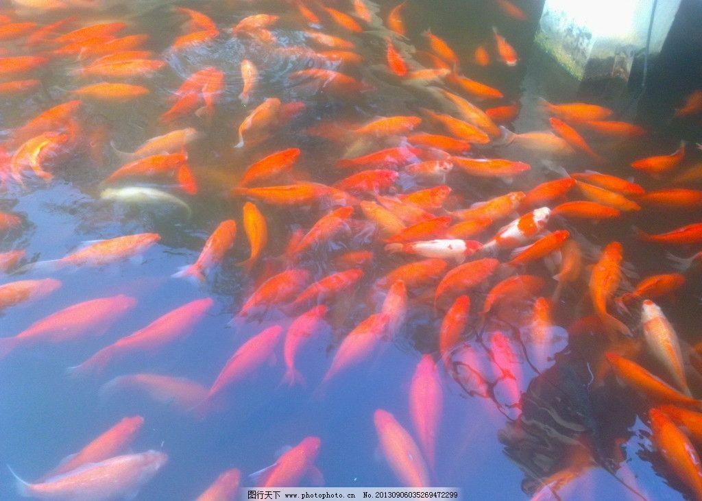 花港观鱼 西湖 旅游 风景 观赏鱼 摄影
