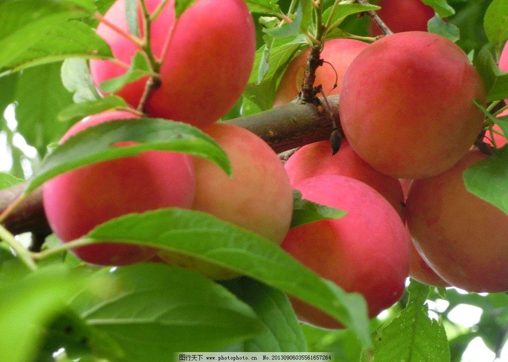 桃子果树 果园 风景 自然风光 农家果园 桃树 青梅 摄影