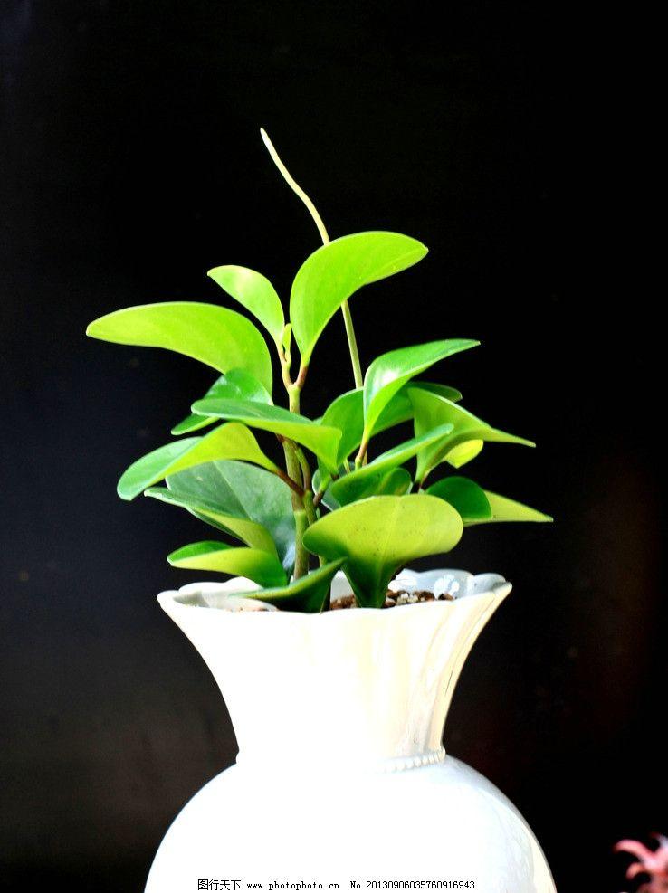 盆栽椒草 搭配 绿叶 观赏 观叶植物 摄影