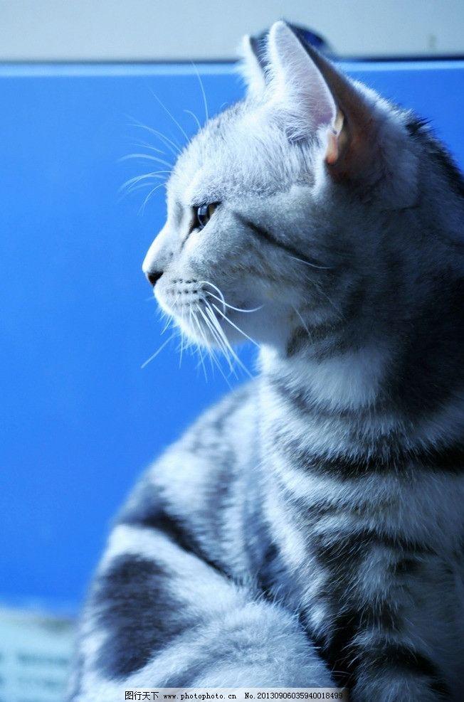 猫咪 可爱 懒猫 肥猫 摄影