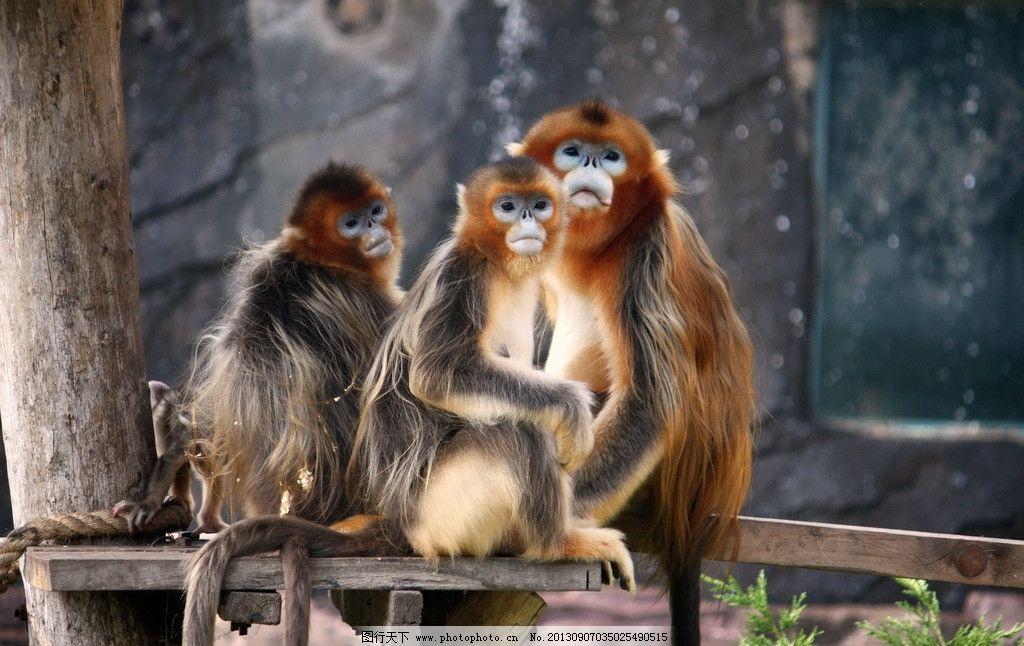 金丝猴全家福 金丝猴 猴子