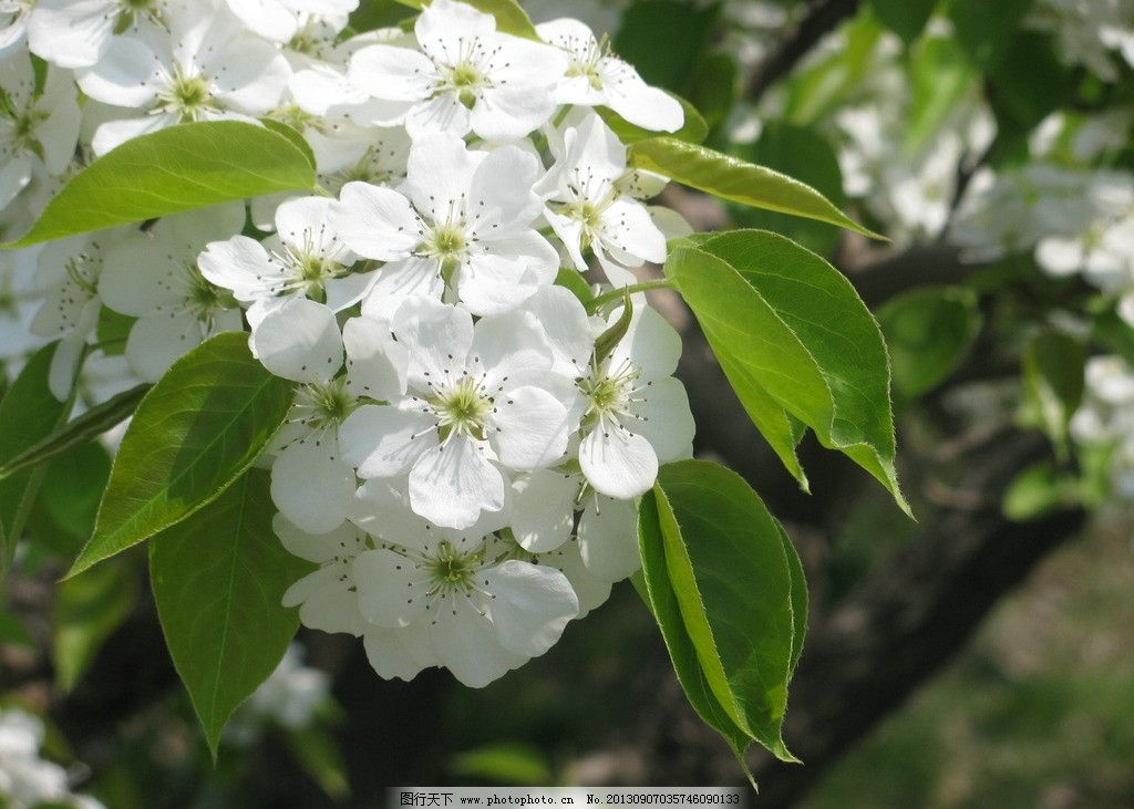 梨花 花 梨树 花开 花朵 梨花图片素材下载 风景 自然风景 花草 微距