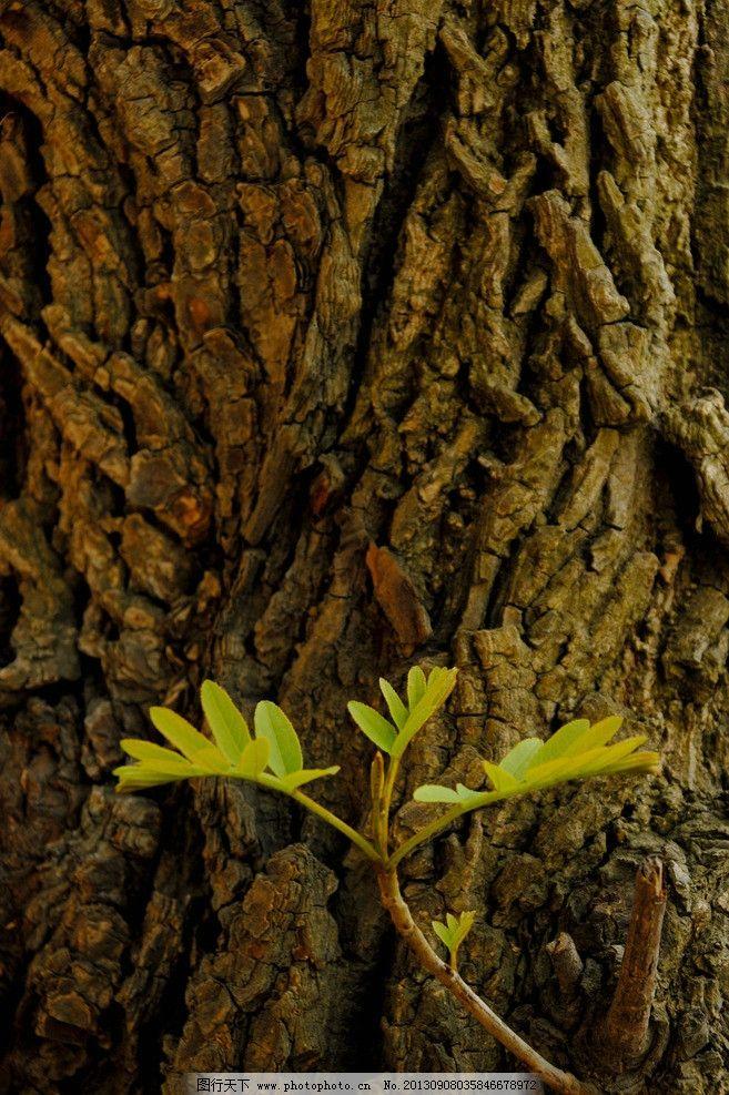 老树新芽图片_树木树叶