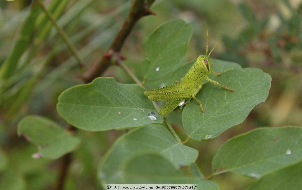 蚂蚱 蝗虫 昆虫 小动物 虫子 绿叶 微距 绿色 清凉 生物世界 摄影 72