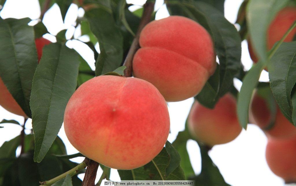 桃子 桃树 水果 蜜桃 果实 水蜜桃 生物世界 摄影 72dpi jpg