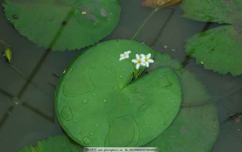 印度荇菜 印度 荇菜 水生 植物 浮叶 水生植物 花草 生物世界 摄影