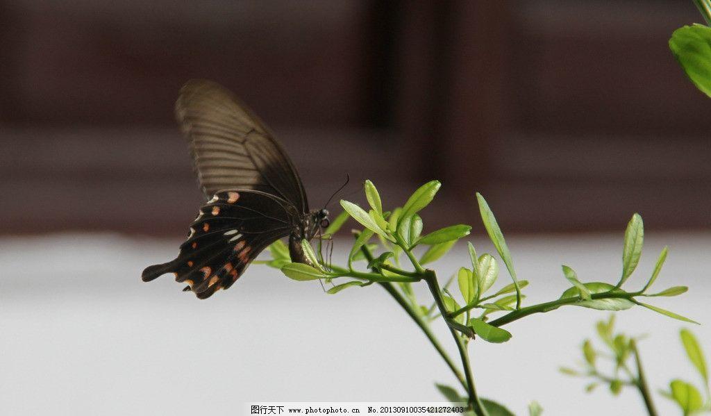 蝴蝶 树木 飞翔 花草 树叶 昆虫 生物世界 摄影 72dpi jpg