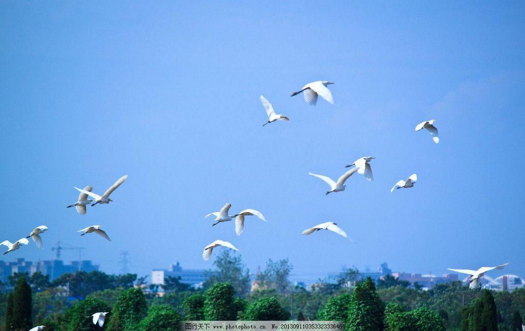 飞翔的白鹭 飞鸟 群鸟 天空 展翅 野生动物 生态 白鹭图片素材下载