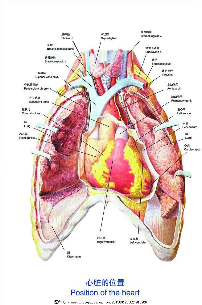 心脏的位置图片