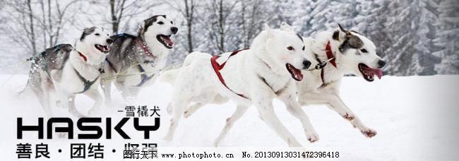 雪橇犬图片_店招促销_淘宝电商_图行天下图库