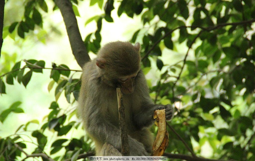 猴子 猴子吃香蕉 贵阳 黔灵山公园 野生动物 生物世界 摄影