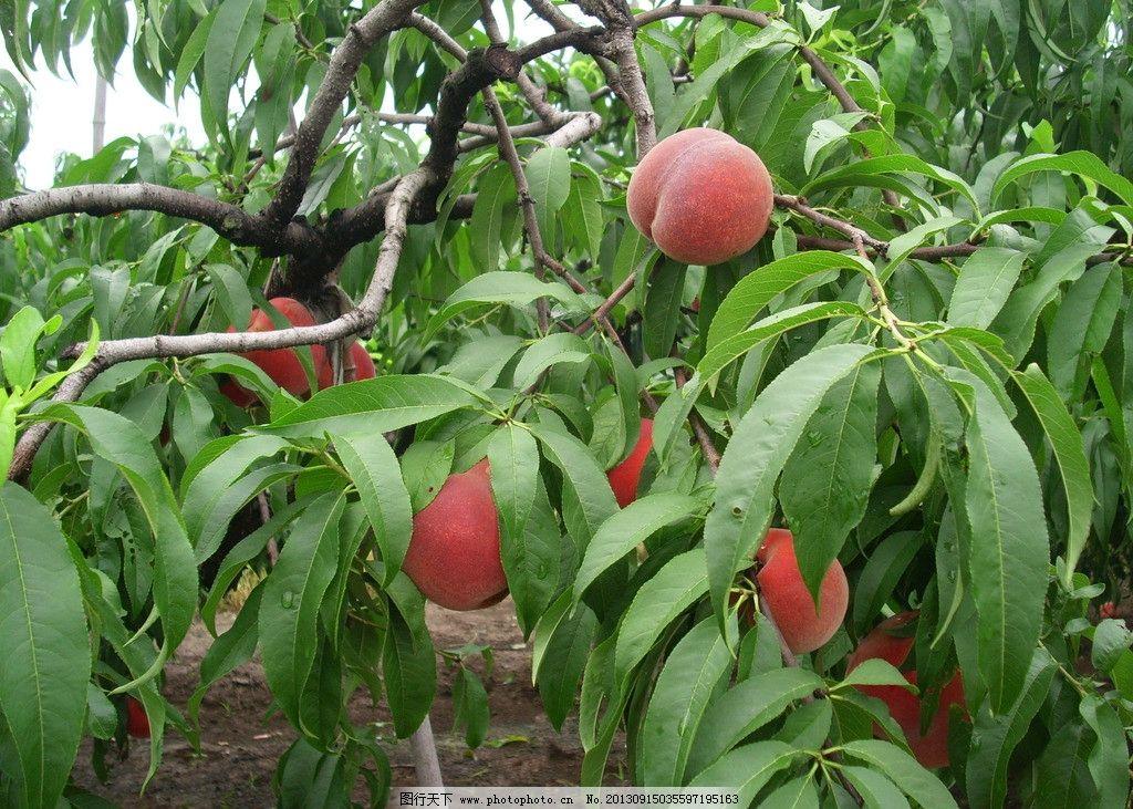 桃树什么时候栽陪