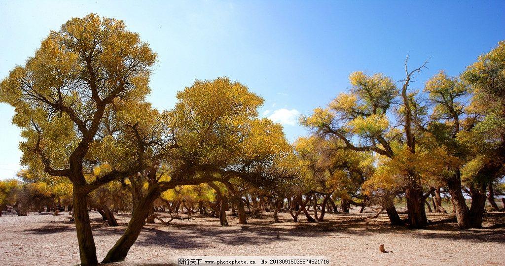 胡杨林 内蒙 额济纳 胡杨 秋色 自然风光 树木树叶 生物世界 摄影 72